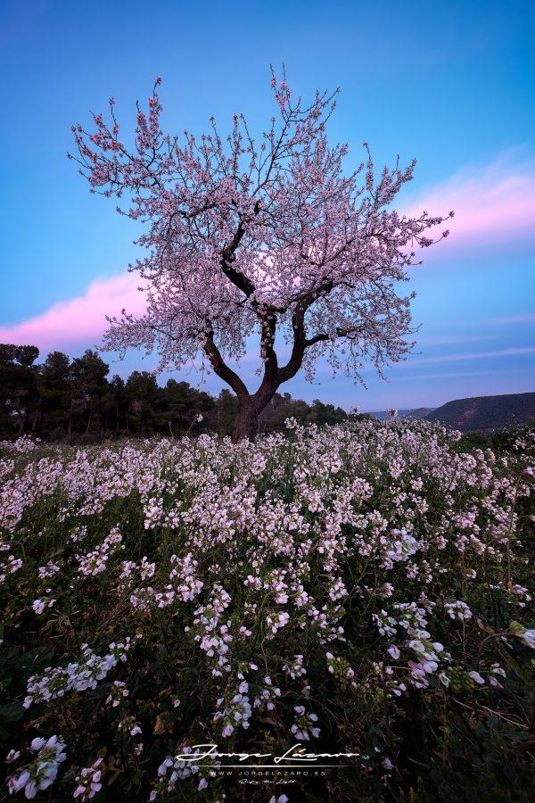 Almendro en flor - Jorge Lázaro